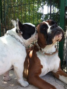 Franse Bulldog en Boxer, mijn twee favorieten.   I got a secret ta tell ya but you cantz tell nobody......