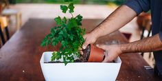 Parsley, Herbalism, Herbs, Gardening, Boho, Nature, Herbal Medicine, Naturaleza, Lawn And Garden