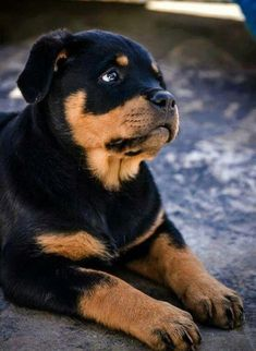 "See our web site for even more relevant information on ""rottweiler puppies"". It is actually an exceptional location for more information. Rottweiler Funny, Rottweiler Puppies, Beagle, Cute Puppies, Cute Dogs, Dogs And Puppies, Chihuahua Dogs, Doggies, Pets"