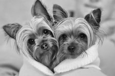Baxter and Chloe  by BLS Photo Ventures #yorkshireterrier