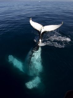 "Humpback Whale Plays Alongside Sy ""Adele"" in the Gerlache Strait, Antarctica, January 2007    by Rick Tomlinson"