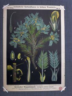 Antique Astalagus Goat's-Thorn Print - Botanical Lithograph - Milk Vetch - Locoweed - Antique Flower Print