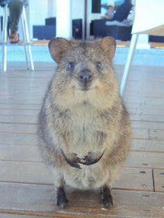 The quokka (Setonix brachyurus), the only member of the genus Setonix, known locally as the Kangaroo Rat, is a small macropod about the size of a domestic cat. Happy Animals, Animals And Pets, Funny Animals, Cute Animals, Mundo Animal, My Animal, Beautiful Creatures, Animals Beautiful, Kangaroo Rat
