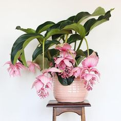[New] The 10 Best Home Decor Ideas Today (with Pictures) - We cant stop looking at this gorgeous planter and by Have you ever seen such bloom? Plants With Pink Flowers, Orchid Plants, Exotic Plants, Exotic Flowers, Orchids, Flowering Plants, Indoor Garden, Garden Plants, Indoor Plants