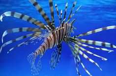The lionfish, an invasive species, was beginning to change the balance of sea life in the waters of the Florida Keys in 2010, the first year of a now-annual tournament to catch as many as possible.