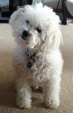 Bichon--they really do understand!!! She is just like our Poohbear-except Poohbear is black! Bichon-poo