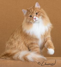 Siberian cat.  I love this breed!
