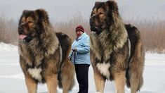 10 Abnormally Large And Dangerous Dogs In The World - Pet Loverz World Giant Animals, Big Animals, Funny Animals, Huge Dogs, Giant Dogs, Cute Dogs Breeds, Large Dog Breeds, Pit Puppies, Scary Dogs