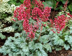 coral bells - Google Search
