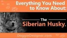 Loyal, friendly, extremely intelligent, Siberian Husky will astound you with its abilities. Siberian Husky Breeders, Siberian Husky Puppies, Husky Puppy, Siberian Huskies, Corgi Puppies, Spitz Breeds, Dog Breeds, Dog Breed Info, Black Lab Puppies