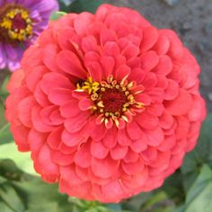 Are you looking for Benary's Giant Coral zinnia seeds?  Harris has a great selection of zinnia seeds at affordable prices.