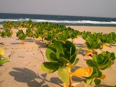 Praia do Chongoene, Mozambique Maputo, Cacti And Succulents, Portuguese, Africa, Earth, Island, Country, Plants, Travel