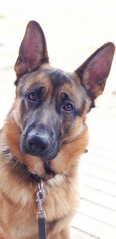 @odin_z_dog german shepherd