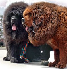 Tibetan Mastiff. They look like big bears.....And they are expensive-like 7 digits or more!