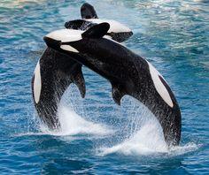 Diving Killer Whales
