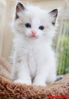 Cute cats and kittens, white kittens, beautiful kittens, kittens cutest, co White Kittens, Cute Cats And Kittens, I Love Cats, Crazy Cats, Kittens Cutest, Funny Kittens, Black Cats, Beautiful Kittens, Pretty Cats