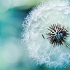 Love the blue in this dandelion photo.  That would look beautiful in a bedroom.
