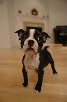 boston terriers are seriously the cutest puppies, hands down. Boston Terriers, Boston Terrier Love, Terrier Puppies, Cute Puppies, Cute Dogs, Dogs And Puppies, Doggies, Baby Animals, Funny Animals