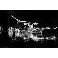 Lago di Cigni. Fotografia Black and Wild di Angelo Andreoni