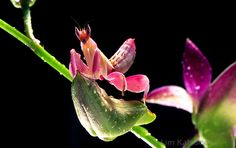 Orchid Mantis by Lim Kah Soon