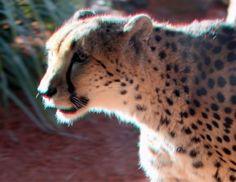OziRig CA Cheetah High Contrast