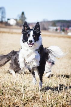 """Click visit site and Check out Best """"Border Collie"""" T-shirts. This website is outstanding. Tip: You can search """"your name"""" or """"your favorite shirts"""" at search bar on the top."""