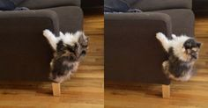 Crazy #Kitten Does Her Best #King_Kong Impression http://ibeebz.com