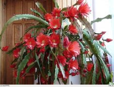 Iată cum poţi obţine înflorirea Crăciunelului - Perfect Ask Wisteria, Bonsai, Cactus, Solar, Home And Garden, Landscape, Diy, Gardens, Flower Arrangements