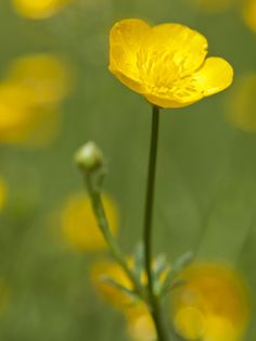 100 best names of spring flowers images on pinterest in 2018 spring time buttercup flowers mightylinksfo