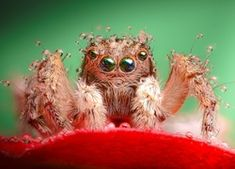Filename: free high resolution wallpaper spider Resolution: File size: 662 kB Uploaded: Custer Nash-Williams Date: Jumping Spider, High Resolution Wallpapers, Cool Wallpaper, Amazing Nature, Bellisima, Nature Photography, Owl, Bird, Spiders