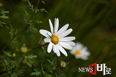 <<화악산의 꽃소식 - 구절초>> (화악산에서 뉴스바로 장덕수 기자 2014.8.6)