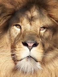 Kleurplaten Leeuwenkop.Kleurplaat Leeuwenkop Google Zoeken Like A Boss Lion Like A Boss