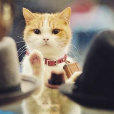 Do you think cats can learn tricks just as well as dogs? Have you taught your cat an impressive trick or command? I Love Cats, Crazy Cats, Cool Cats, Cute Kittens, Cats And Kittens, Pretty Animals, Cute Animals, Cat Site, Matou
