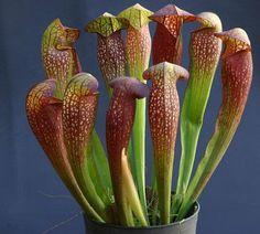 Piège idéal pour frelons asiatiques. Une fois attiré par les phéromones de la Sarracenia, le frelon tombe dans le fond d'un de ses tubes. Ainsi prise au piège, la bête est ensuite assommée puis lentement digérée par les sucs vénéneux de la plante