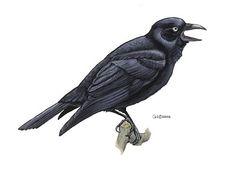 Corvus orru (Torresian crow)