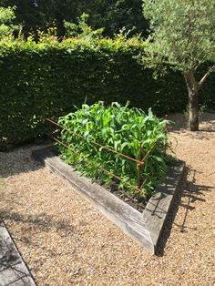 Raspberry Canes, Fruit Cage, Fruits And Vegetables, Sidewalk, Plants, Fruits And Veggies, Plant, Pavement, Planting
