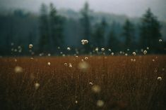 Photographic Print: Cotton Grass, Sedges and a Red Spruce Forest in a Bog by Raymond Gehman : Landscape Photography, Nature Photography, Photography Flowers, Photography Ideas, Photography Aesthetic, Film Photography, Wedding Photography, Camping 3, Brown Aesthetic