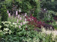 Profusion! Left to right: Astrantia 'Shaggy', Persicaria bistorta 'Superba' (with Geranium phaeum behind), Astrantia 'Star of Fire' & the frothy flowers of Heuchera 'White Spires'