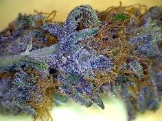 Purple Diesel Marijuana Strain Review And Pictures