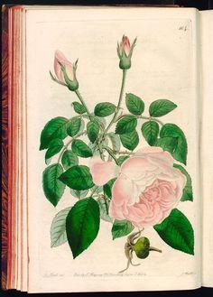 Rosa Indica β. odoratissima. Sweet-scented China Rose. - The Botanical register, 1824