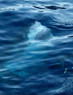 Surface shot of a great white shark