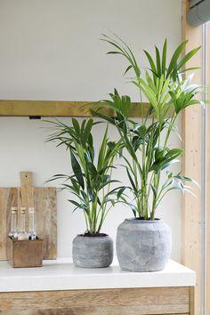 Houseplant of the month: Kentia Palm - Houseplant of the month: Kentia Palm - Large Plants, Potted Plants, Black Plant Stand, Dwarf Plants, Decoration Plante, Palmiers, House Plants Decor, Interior Plants, Garden Spaces