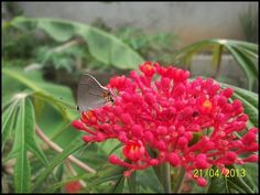 Mariposa en Jatropha
