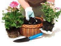come-coltivare-gerani-vaso (6)