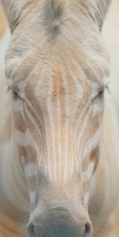 ☆ Albino Zebra barefootstyling.com