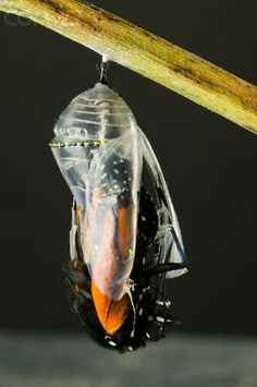 Monarch butterfly emerging from cocoon. Image from Www.starampglobal.com.au