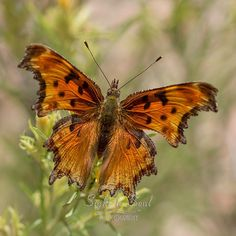 Original nature photography and butterfly art, this is a macro photo of a Hoary Comma (Polygonia gracilis) on yellow flowers. This fine art print is available in multiple sizes. Photo title: Surprise!