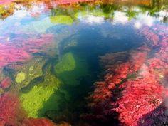 Cano Cristales, a beautiful river in Colombia located in the Serrania de la Macarena, province of Meta.