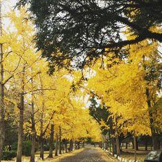 Árboles asiáticos en La Plata Argentina