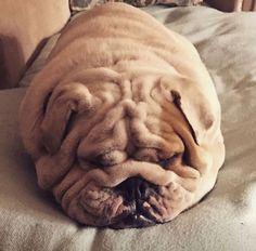 I'm pretending to be a Bulldog potato... #It'sADogsLife #buldog